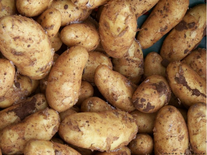 Agricultural chemist told how to collect a large harvest of potatoes from a small area