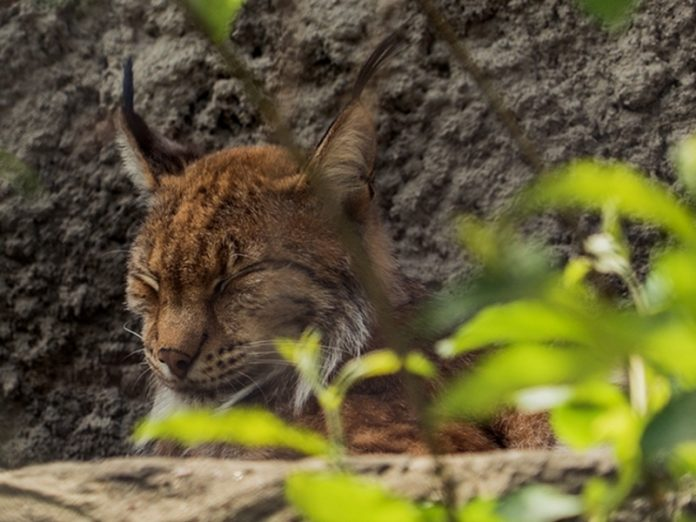 In the Leningrad region decide the fate of the ran to the village lynx (video)