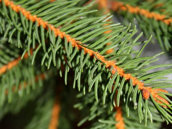 In the Omsk region, cut down commemorative spruce, planted by the veterans