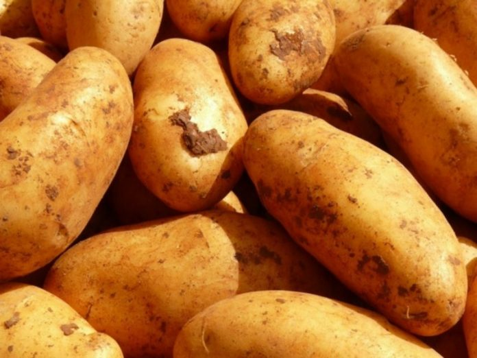 The expert told how to save the potatoes from larvae that can destroy crops