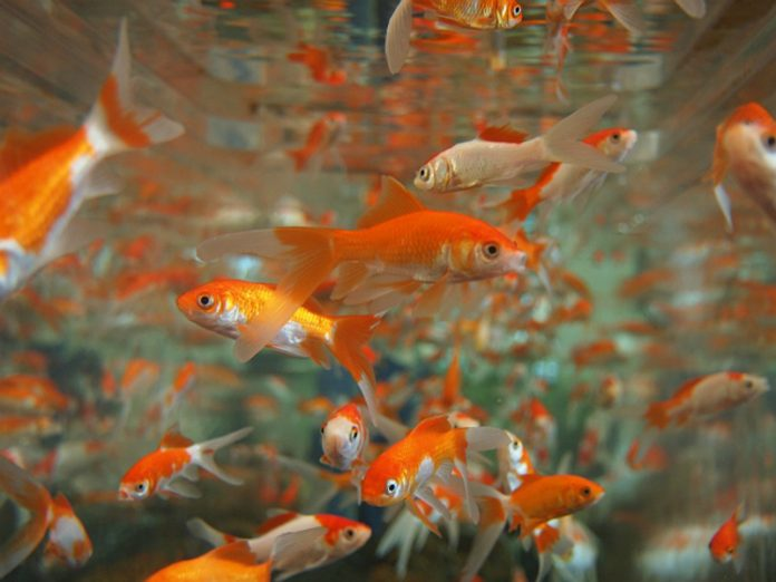 The scientists found the fish the ability to experience depression