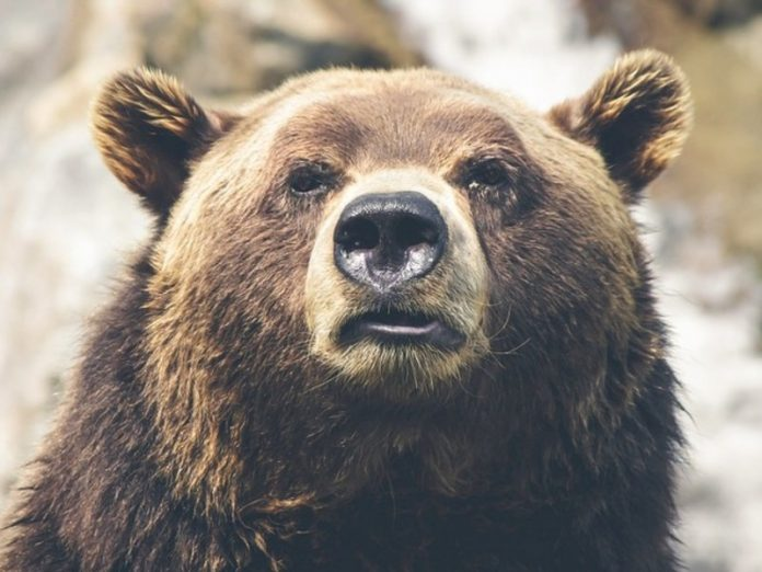 A bear mauled a woman in front of truckers on Sakhalin