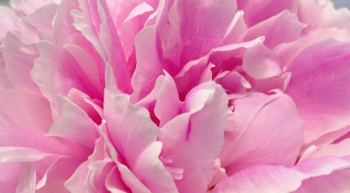Agricultural chemist discovered the secret to growing a lush peonies