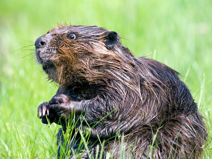 Beavers to blame: the scientists found out who