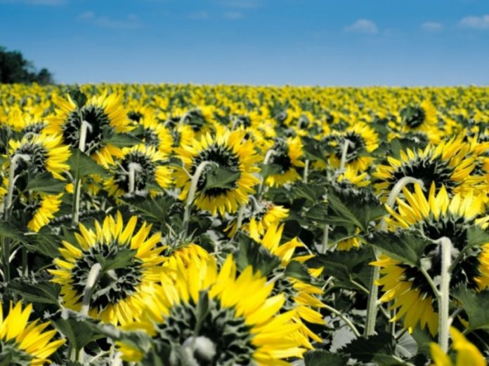 Duty on export of sunflower seeds from Russia has decided to significantly increase