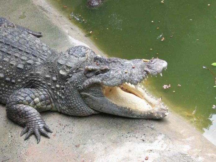 From a giant crocodile got swallowed up a woman (video)