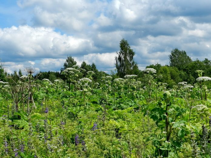 In Moscow rescued a man with burns from Hogweed