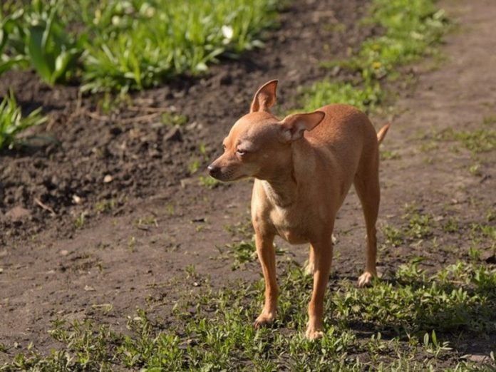 In Moscow, the Rottweiler mauled to death walking with the owner of a small toy Terrier