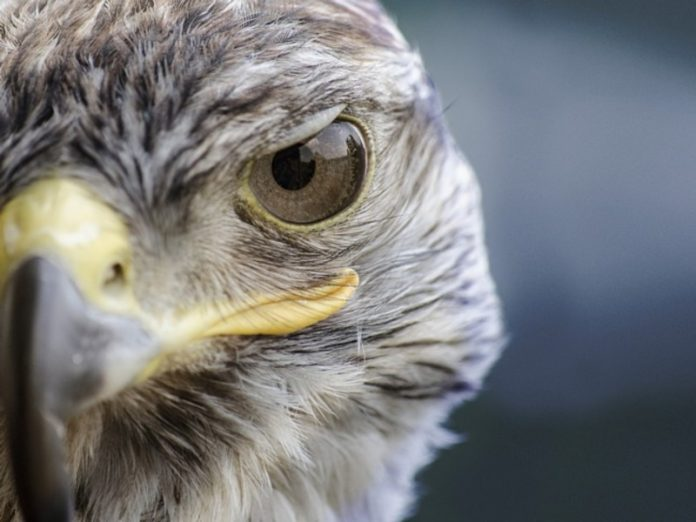Kamchatka will be prosecuted poachers out hunting endangered Gyrfalcons