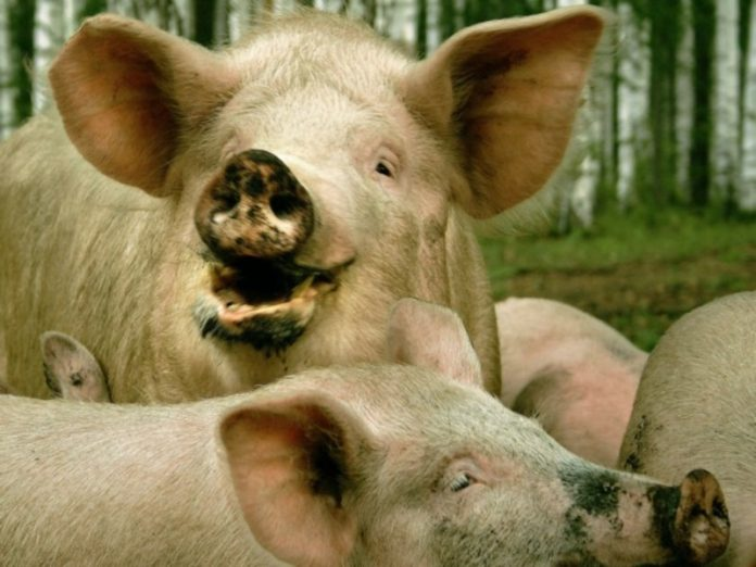 On the farm in Germany was burned alive nearly 400 pigs
