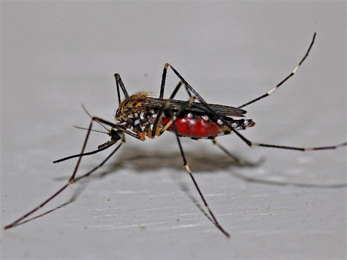 Scientist warned about aggressive due to the isolation mosquitoes