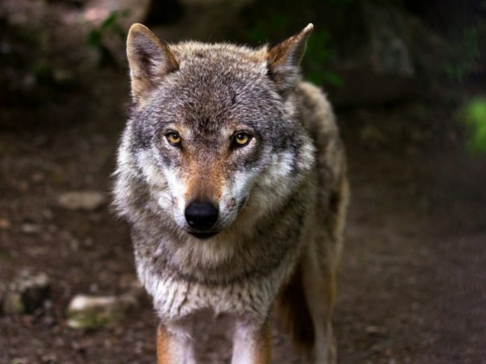 A rabid wolf attacked two women near Moscow