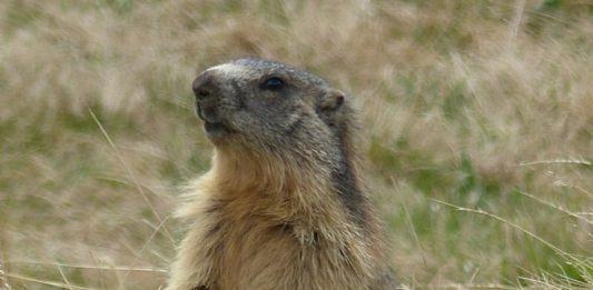 Authorities asked residents of Tuva plague until there are marmots