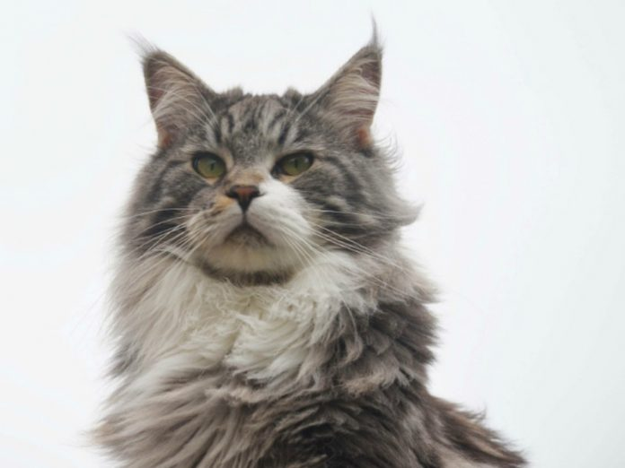 Cat from the UK lived to be 31 years