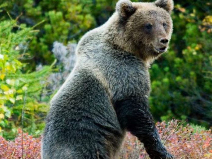 In Primorye, the Himalayan bear attacked a man