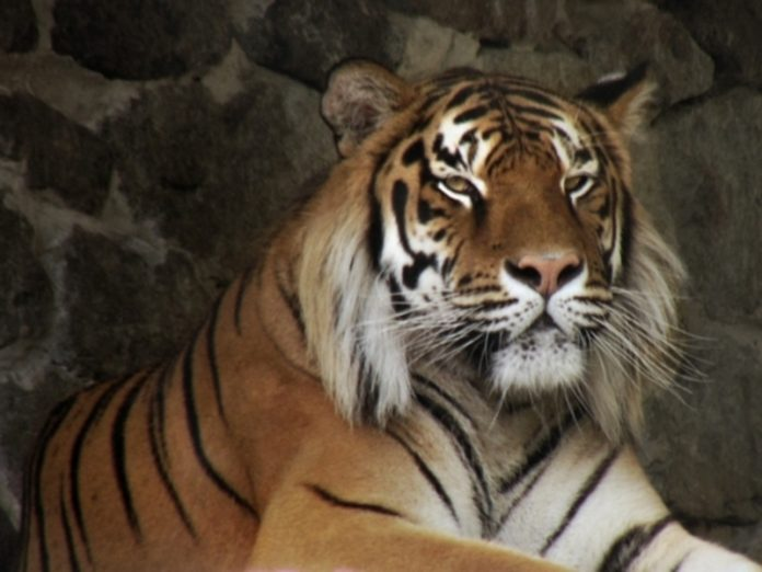 In Switzerland Amur tiger got mauled to death by a woman