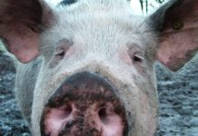 In the Kirov district of Primorye put a quarantine on swine fever