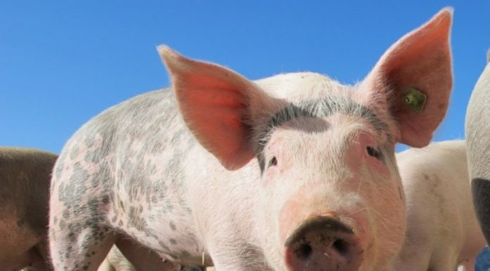 In the Samara region introduced a state of emergency due to African swine fever