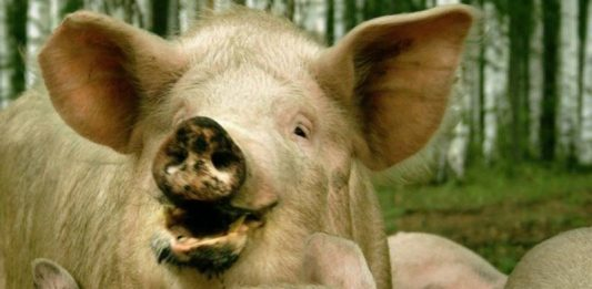 In the third district of the Samara region have introduced emergency mode due to swine fever