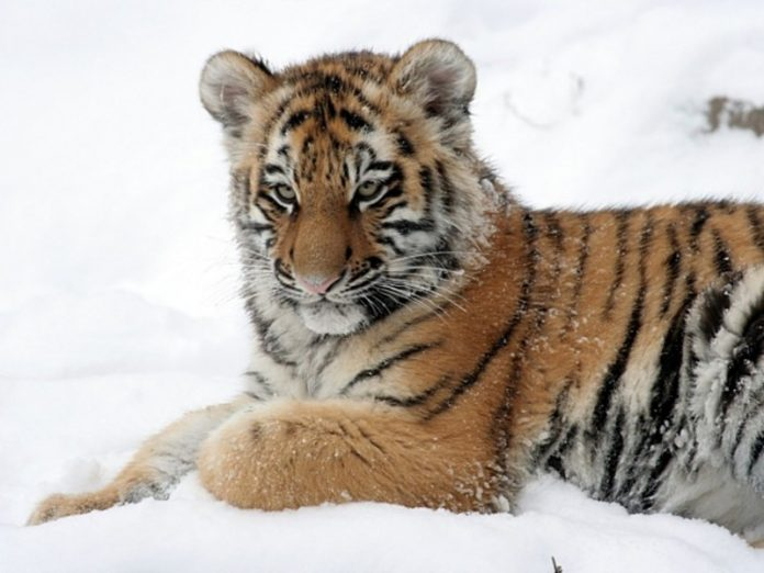 Residents of Khabarovsk territory is suspected of killing a tiger