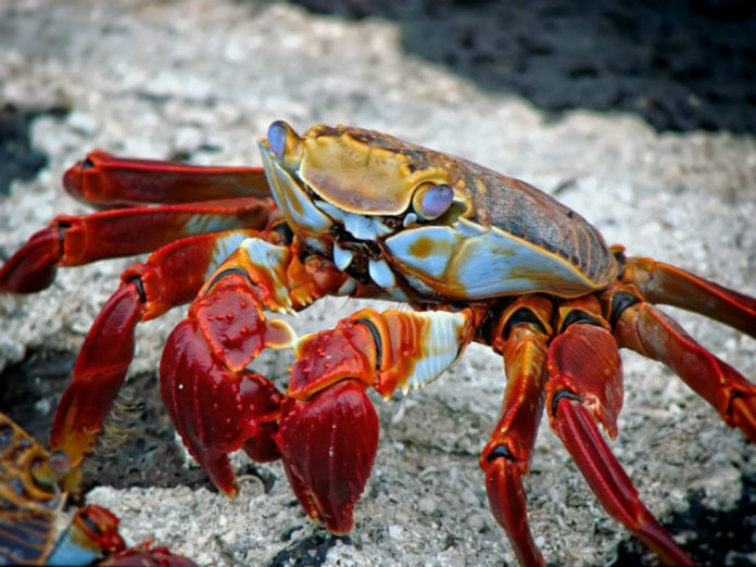 Russia's largest earner of the crab may stop fishing because of withdrawn quota