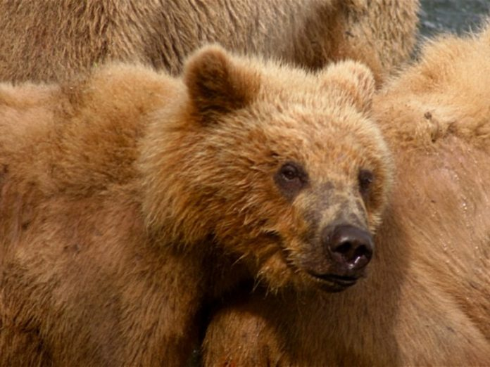 Sakhalin fishermen rescued tangled in a network of a bear (video)