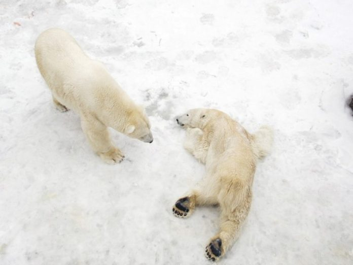 Scientists: polar bears will die from starvation in a few decades