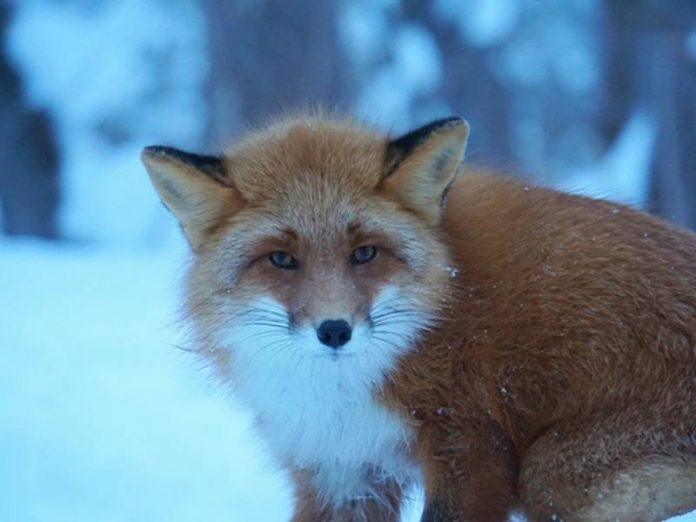 Smolny said, forcing wild animals to come to the city