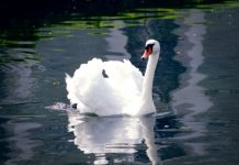 Swan found dead on the Patriarshiye ponds was poisoned