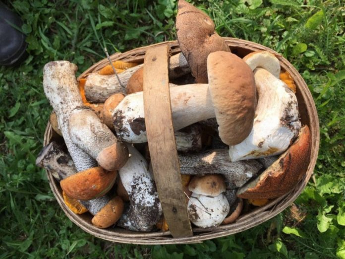The CPS explained why edible mushrooms can be deadly