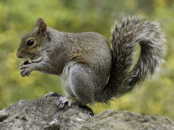 The Parliament of Chelyabinsk region was visited by squirrel (video)