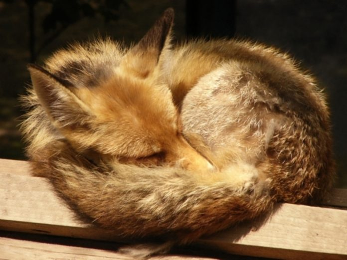 In Chukotka declared quarantine from-for a mad Fox